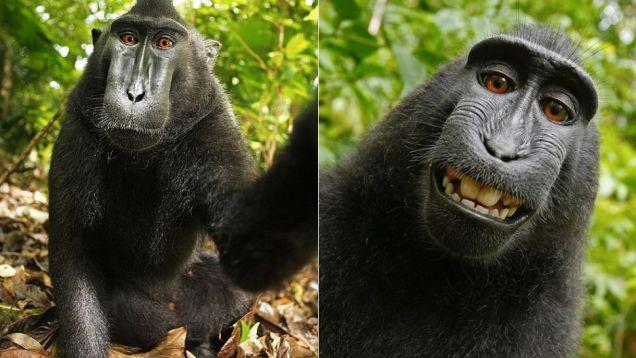 Foto: Selfie de un macaco crestado anônimo. Edição: David Slater. Via Wikipedia, sob a licença Creative Commons.